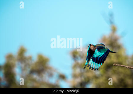 Wild Indian Roller, Caracas benghalensis, in flight, Bandhavgarh National Park, India - Stock Image