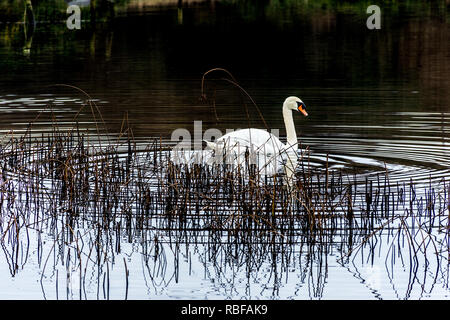 Ardara, County Donegal, Ireland. 10th January 2019. A swan creates ripples in the water of a still Lake Shanaghan on a calm morning. Credit: Richard Wayman/Alamy Live News - Stock Image