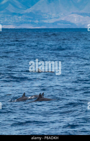 Wild Hawaiian Spinner dolphins, Stenella longirostris, swim freely off the coast of Lana'i. West Maui Mountains in distance. - Stock Image