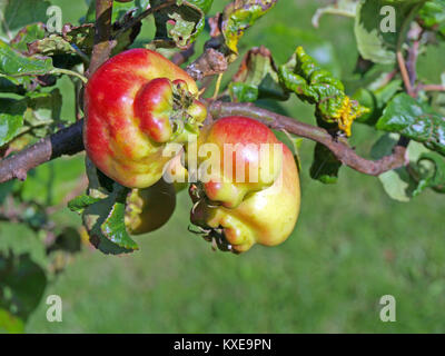 Crippled or mutated apple fruits on tree branch close up - Stock Image