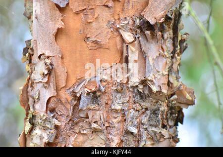 Tree bark peeling back to bare wood - Stock Image