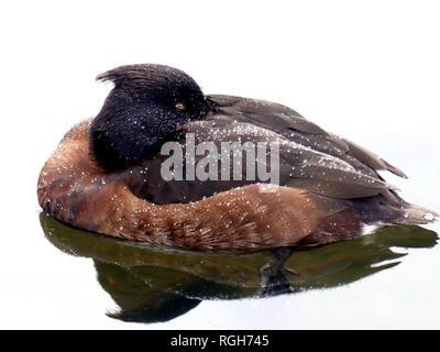 Sleeping Tufted duck- female Aythya fuligula - Stock Image