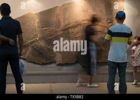 Visitors look at a fossil of Cymbospondylus sp in Geological Museum of China. - Stock Image