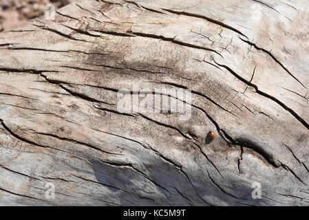 Aged wood with cracks and wavy lines from the aging process and smoothed from the weather elements - Stock Image
