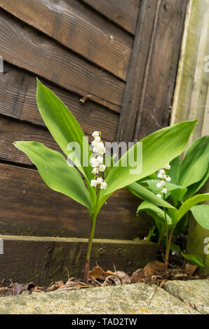 Lily of the valley - Stock Image