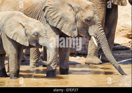 African elephants drinking from the Ewaso N'giro River in Samburu, Kenya. - Stock Image