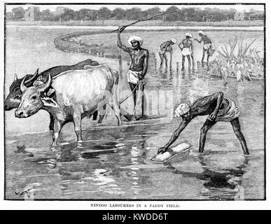 Hindu Labourers in a Paddy Field - Stock Image