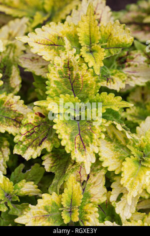 Solenostemon scutellarioides. Coleus leaves. - Stock Image