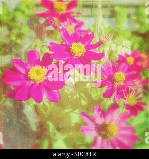 Vivid magenta daisies with painterly texture overlay. - Stock Image