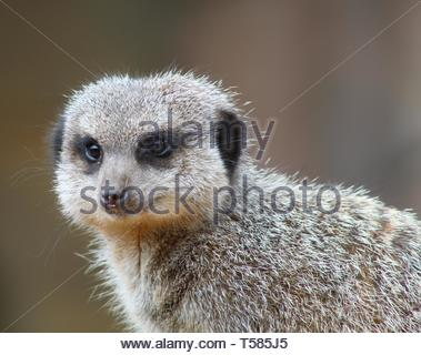 A cute furry  meerkat close up. Looking forward with a curious little face and appears to be smiling - Stock Image