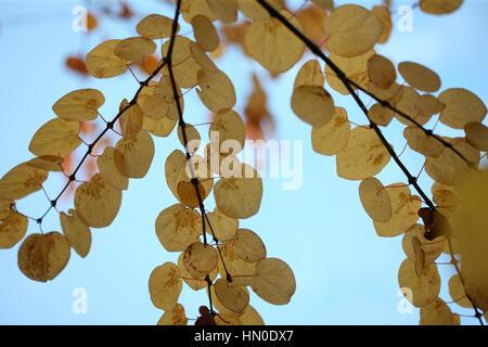 Cercidiphyllum Japonicum, katsura tree, autumn leaves blue sky Jane Ann Butler Photography  JABP1819 - Stock Image