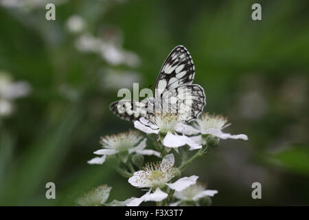 Marbled white Taking nectar from bramble Hungary June 2015 - Stock Image