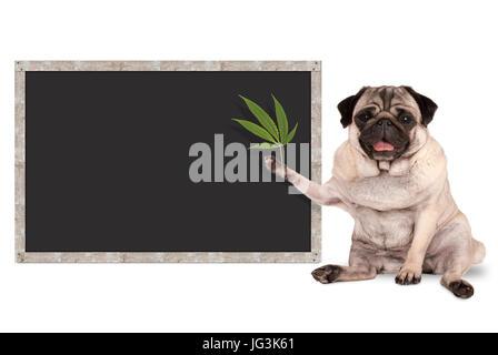 sitting smiling pug puppy dog holding hemp leaf, with blank blackboard sign, isolated on white background - Stock Image