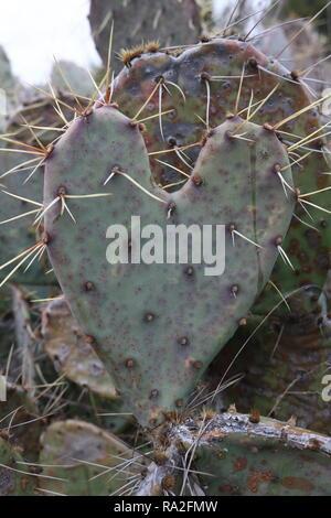 Thorny heart shaped cactus - Stock Image