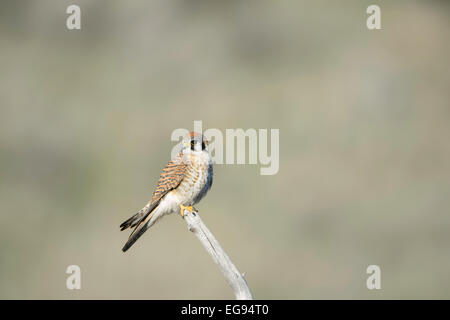 A male kestrel in northern California. - Stock Image