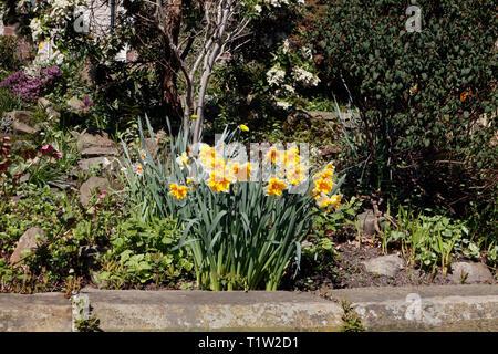 Garden Daffodils in bloom, Springtime - Stock Image