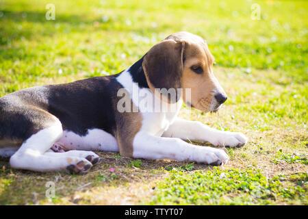 Portrait of a beagle paw dog - Stock Image