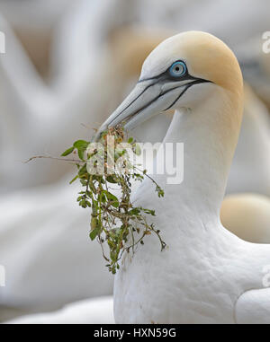 Northern gannet (Morus bassanus) adult with nest material at breeding colony. Great Saltee island, co Wexford, Ireland. - Stock Image