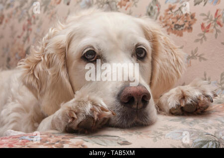 Golden retriever dog, Single male adult lying on floral sofa, England, UK - Stock Image