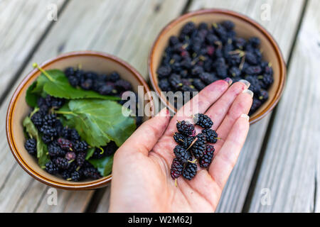 Closeup of black ripe mulberries in garden dacha farm with woman dirty hand picking holding juicy fruit with leaves in bowls - Stock Image