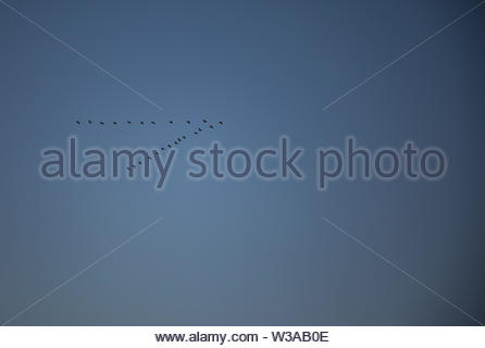 Migrating flying ducks in v form with blue sky - Stock Image