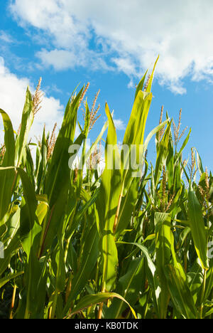 Maize being grown to produce biogas, UK. - Stock Image