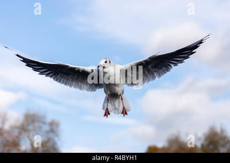 A black headed gull (Chroicocephalus ridibundus) in adult winter plumage wings extended in a hovering flight - Stock Image