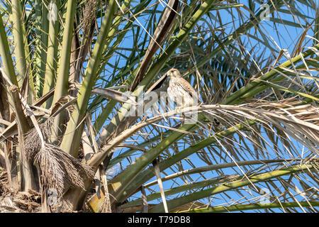 Kestrel bird of prey - Stock Image