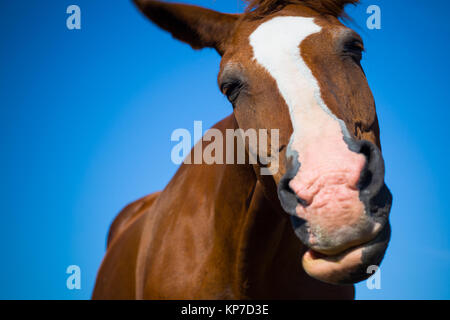 A brown horse shaking its head - Stock Image