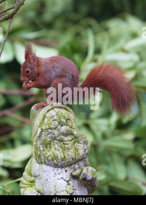 Eurasian red squirrel on garden gnome - Stock Image