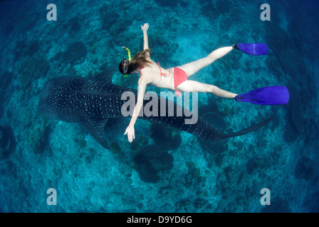 High angle view of a woman swimming above a Whale shark (Rhincodon typus), South Ari Atoll, Maldives - Stock Image