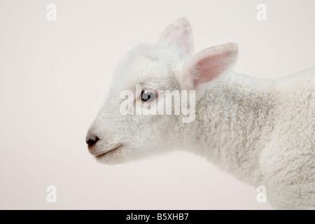 Lamb head on white - Stock Image