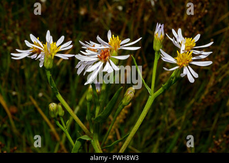 Aster tripolium (sea aster) is a short-lived perennial herb of ungrazed or lightly grazed salt-marshes. It has a Temperate Eurasian distribution. - Stock Image