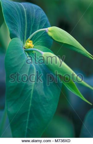 euphorbia lathyris plant - Stock Image