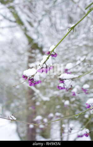 Callicarpa bodinieri berries in Winter. - Stock Image