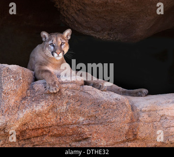 A cougar, or mountain lion, watches from a rocky perch. - Stock Image