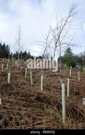 Reforestation planting of woodland part of National Trust Knightshayes Court, Tiverton, Devon UK - Stock Image