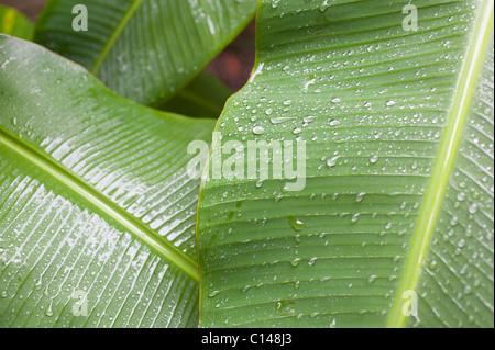Banana leaves after rain, Amazon Rainforest, South America - Stock Image