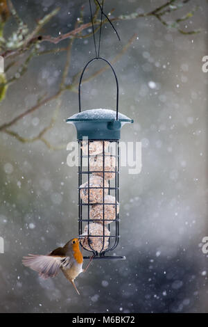 Snow continues to fall in many parts of the UK, meaning birds are seeking out garden feeders.  A Robin, usually - Stock Image