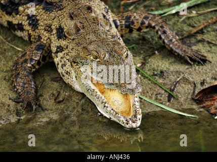 Crocodile with mouth agape in order to cool down in the midday heat Near Cape Coast Ghana - Stock Image