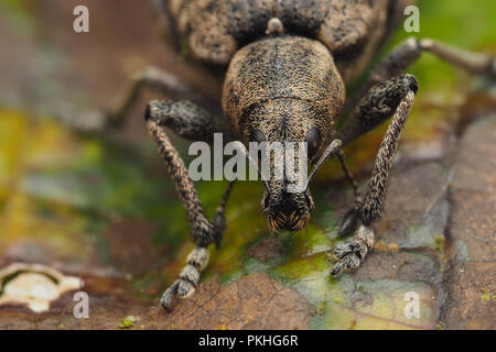 Frontal view of Weevil (Liophloeus tessulatus) on ivy leaf. Tipperary, Ireland - Stock Image