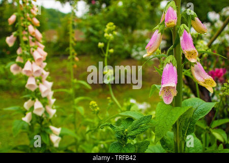 Pink Foxgloves or Digitalis growing in a garden in north east Italy. They are wet from recent rain - Stock Image