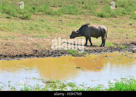 The African buffalo or Cape buffalo with birds resting on its back for awaiting landing insects beside  river in - Stock Image