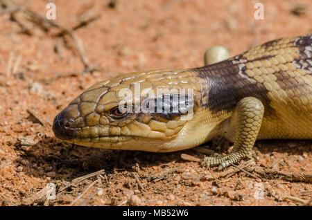 tiliqua occipitalis, western blue-tongued lizard, australian animals - Stock Image