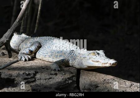 Saltwater Crocodile (Crocodylus porosus) sunbathing on the riverbank, Daintree National Park, Wet Tropics, Far North Queensland, FNQ, QLD, Australia - Stock Image