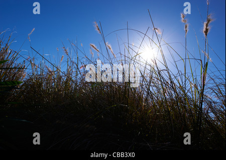 Close-up view of grasses with blue sky - Stock Image