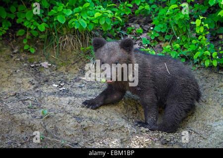 brown bear (Ursus arctos), Zurich, Tierpark Langenberg - Stock Image