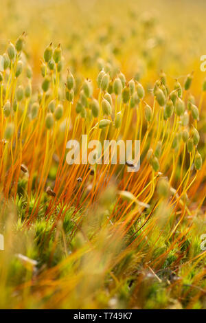 Close-up of moss with seed heads, unknown species on ground in woodland in Sussex, UK, May. - Stock Image