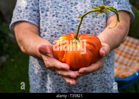 Old woman hands in close up show a big original biological natural tomato - healthy lifestyle for people - seasonal vegetarian food to live health - Stock Image