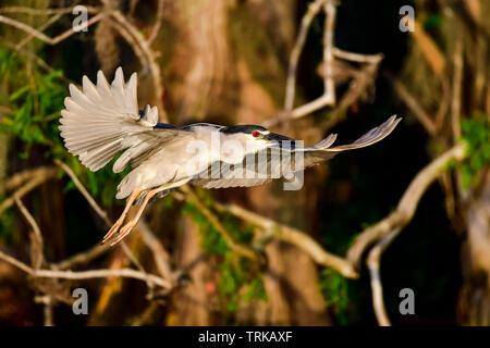 Black-crowned night heron in flight at dawn - Stock Image